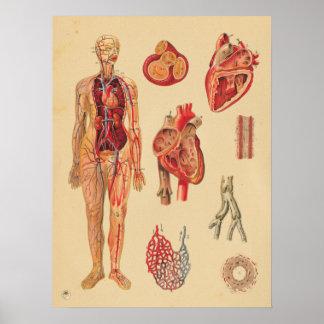 Vintage Herz-Arterien-menschliche Poster