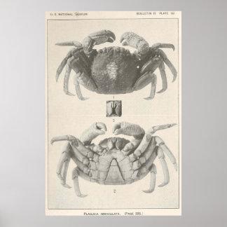 Vintage Krabben-Anatomie Fotograf (1918) Poster