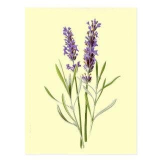 Vintage Lavendel-Illustration Postkarte