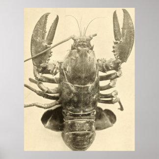 Vintage Maine-Hummer-Fotografie (1895) 2 Poster