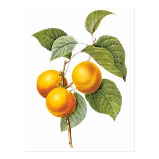 Vintage Nahrungsmittelfrucht, Aprikosen-Pfirsich Postkarte