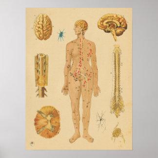 Vintage nervöses Systems-menschliche Poster