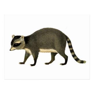 Vintage Raccoon-Radierung Postkarte