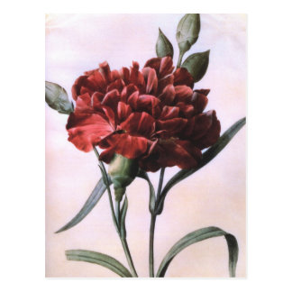 Vintage rote Gartennelke Postkarte