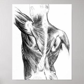 Vintage Rückenmuskel der Anatomie-| (circa 1852) | Poster