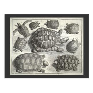 Vintage Schildkröte-Radierung Postkarten
