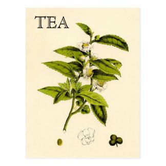 Vintage Tee-Pflanze Postkarte