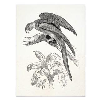 Vintage Vögel - Carolina plappert tropischen Vogel Kunst Foto