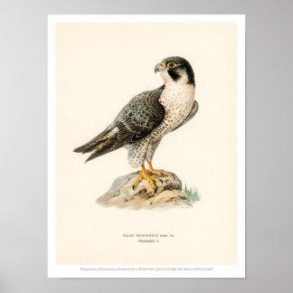 Vintage Vogel-Illustration - ausländischer Falke Poster