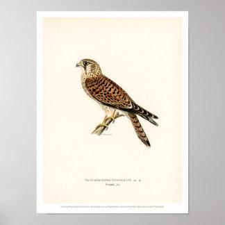 Vintage Vogel-Illustration - gemeiner Kestrel Poster