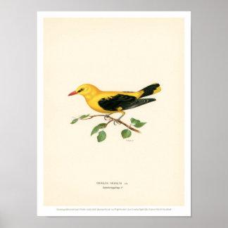 Vintage Vogel-Illustration - goldener Oriole Poster