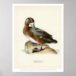 Vintage Vogel-Illustration - größere Bergente Poster