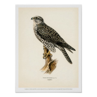 Vintage Vogel-Illustration - Gyr Falkemann Poster