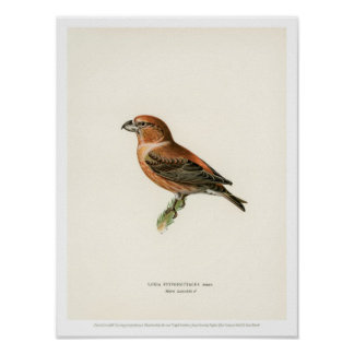 Vintage Vogel-Illustration - Poster