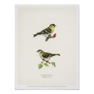 Vintage Vogel-Illustration - Siskin Poster