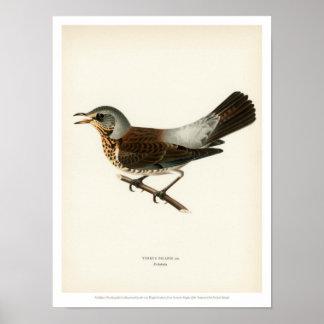 Vintage Vogel-Illustration - Wacholderdrossel Poster