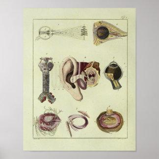Vintager 1820 Augen-Ohr-Anatomie-Kunst-Druck Poster