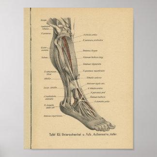 Vintager 1888 Deutsch-Anatomie-Druck-Bein-Fuß Poster