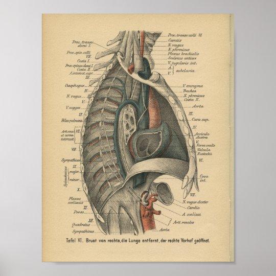 Vintager 1888 Deutsch-Anatomie-Druck Brust- Poster | Zazzle