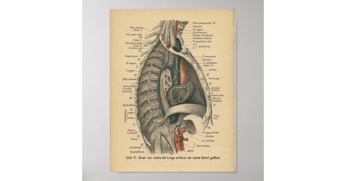 Vintager 1888 Deutsch-Anatomie-Druck Brust- Poster   Zazzle