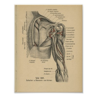 Kuh-Anatomie-Vintager Druck Poster | Zazzle