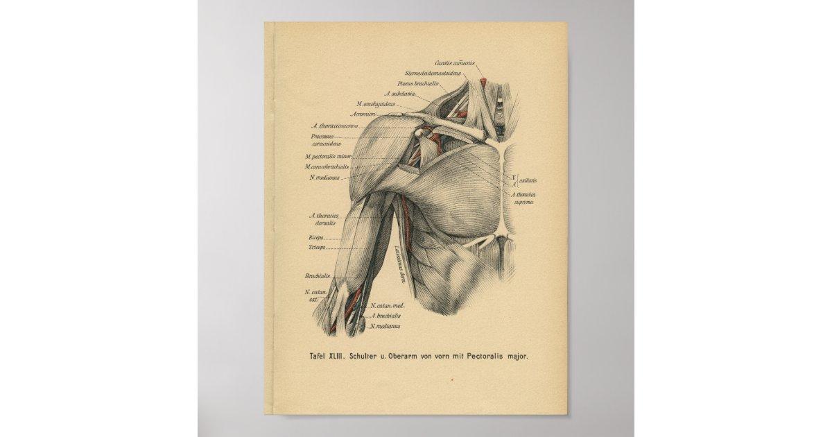 Vintager 1888 Deutsch-Anatomie-Druck-Schulter-Arm Poster | Zazzle