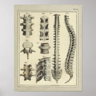 Vintager Anatomie-Druck der Wirbelsäule-1831 Poster