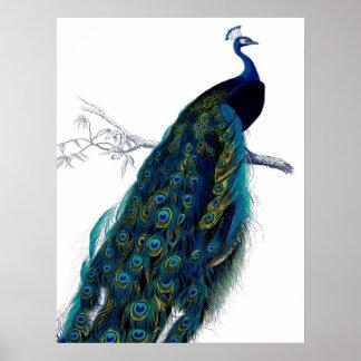 Vintager blauer eleganter bunter Pfau Poster