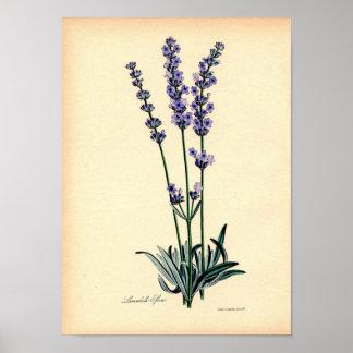 Vintager botanischer Druck - Lavendel Poster