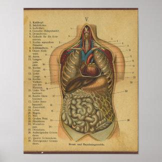 Vintager deutscher Anatomie-Druck-interne Organe Poster