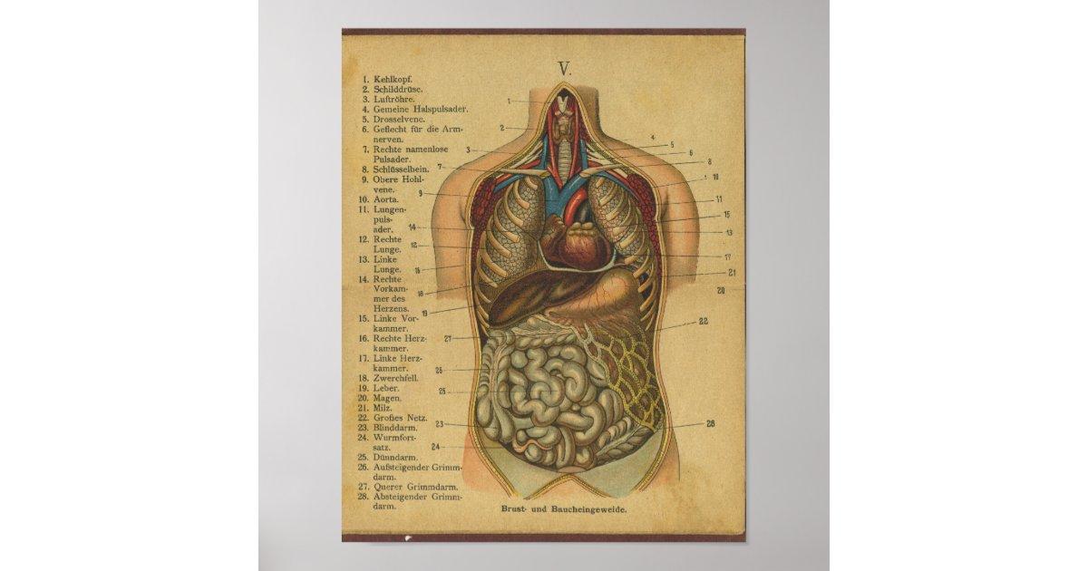 Vintager deutscher Anatomie-Druck-interne Organe Poster | Zazzle