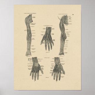 Vintager Druck der Arm-Nerven-Anatomie-1880 Poster