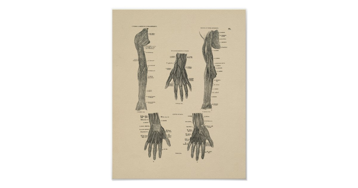 Vintager Druck der Arm-Nerven-Anatomie-1880 Poster | Zazzle