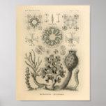 Vintager Druck Hexactinellae Farbernst Haeckel Poster