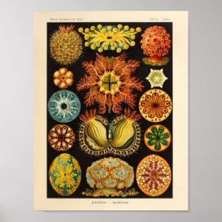 Vintager Kunst-Druck Ascidiae Farbernst Haeckel Poster