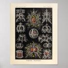Vintager Kunst-Druck Stephoidea Farbernst Haeckel Poster