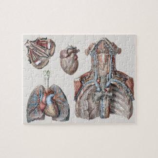 Vintager menschlicher Anatomie-Kasten, Organe, Puzzle
