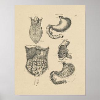 Vintager menschlicher Druck der Anatomie-1880 Posterdrucke
