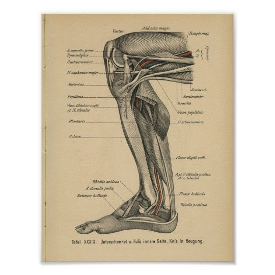 Vintages 1888 Deutsch-Anatomie-Druck-Bein-Knie Poster | Zazzle