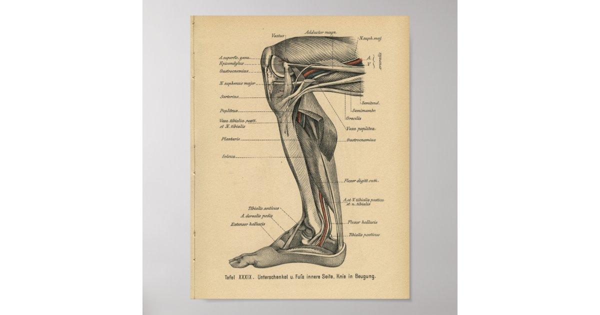vintages 1888 deutsch anatomie druck bein knie poster zazzle. Black Bedroom Furniture Sets. Home Design Ideas