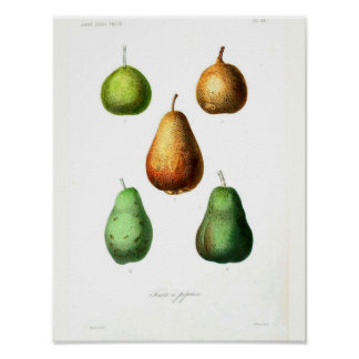 Vintages botanisches Plakat - Birnen
