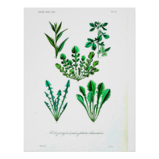 Vintages botanisches Plakat - Blattgemüse