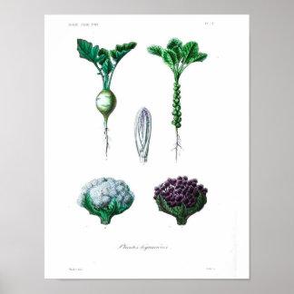Vintages botanisches Plakat - Blumenkohl