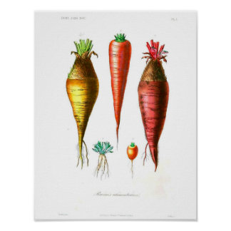 Vintages botanisches Plakat - Karotten