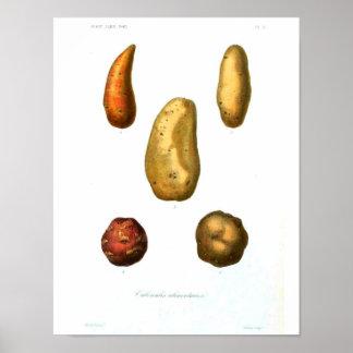 Vintages botanisches Plakat - Kartoffel