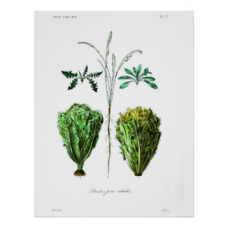 Vintages botanisches Plakat - Kopfsalat