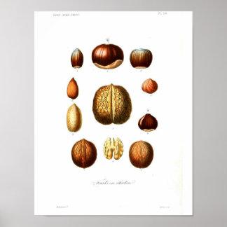 Vintages botanisches Plakat - Nüsse