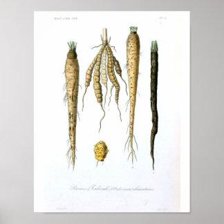 Vintages botanisches Plakat - Wurzelgemüse