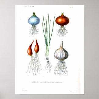 Vintages botanisches Plakat - Zwiebel und