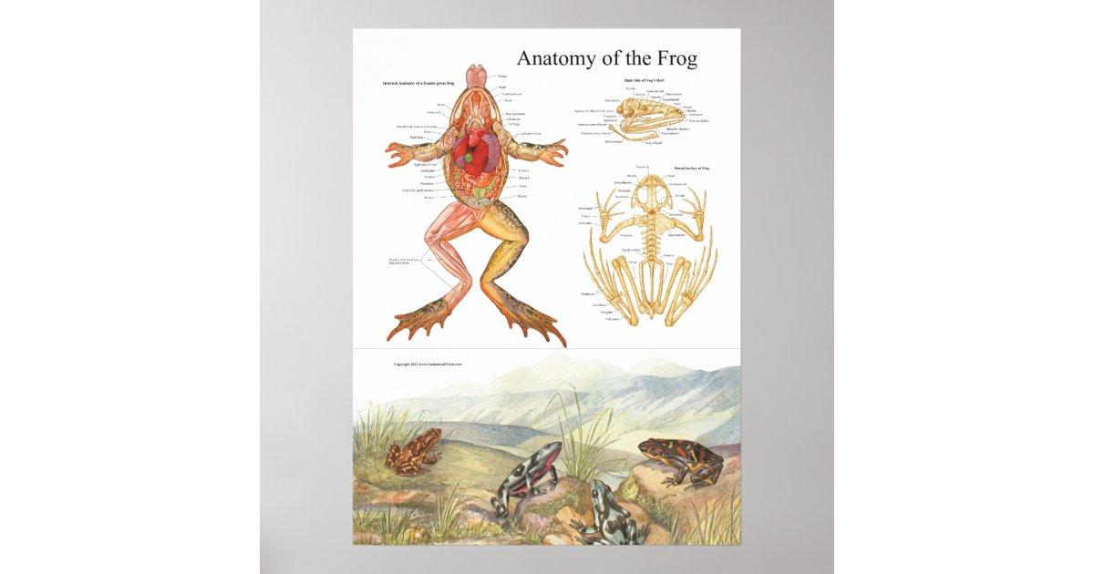 Vintages Frosch-Anatomie-Plakat Poster   Zazzle